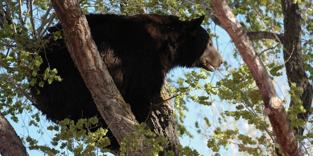 In this photo taken by local photographer Marvin Cattoor, an adult male black bear crouches in a tree Sunday morning on Ranney Street. The bear also took refuge in a tree on Mack Lane, said Cattoor, who took several photos of the animal before it was euthanized by Colorado Parks and Wildlife officials.