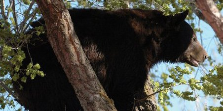 Local resident Marvin Cattoor took this photo Sunday of a male black bear in a tree near Ranney Street. The bear was later put down by Colorado State Parks and Wildlife officers. The bears remains have been donated to the Museum of Northwest Colorado for a future display and it is the hope of museum directors to recreate the scene as portrayed in the photo.  