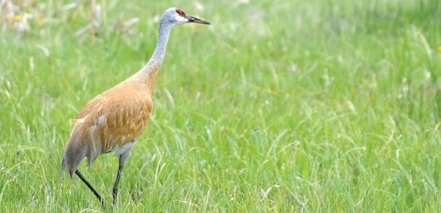 Yampa Valley sportsmen issued a proposal earlier this year requesting a limited hunting season on Sandhill Crane. The Colorado Parks and Wildlife Commission tabled the proposal, citing insignificant evidence that the species needs to be managed.