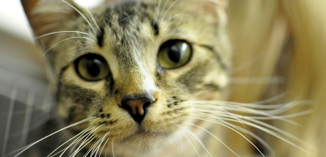 Tinker, a shorthair domestic cat, is available for adoption at the Craig Animal Shelter, located at Bear Creek Animal Hospital at 2430 E. Victory Way. Monthly adopt-a-thons and low-cost spay and neuter operations are one of several services the Humane Society of Moffat County has spearheaded since it began a decade years ago. A celebration of the organization's 10th anniversary and volunteer appreciation is scheduled for 5 to 7 p.m. Saturday at the Moffat County Fairgrounds' covered picnic area.