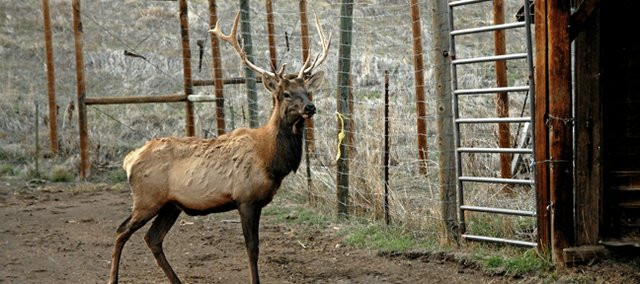 J.R., a two-year-old, six-point bull elk, pauses for photos Monday upon his arrival at his new home at the Wyman Museum in Craig. Jr. can be viewed by visitors in Clyde the elk&#39;s old pen. Clyde passed away last month at the age of 18.