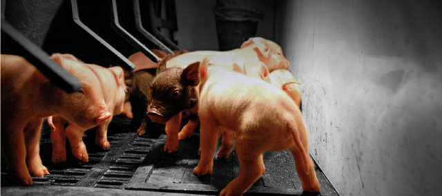 A litter of newly farrowed Yorkshire piglets explore the confines of a birthing crate Saturday at a hog farm operated by Moffat County residents JB and Paula Chapman. The Chapmans run NC Enterprises, LLC and the piglets shown here were among 55 farrowed at the farm last weekend.