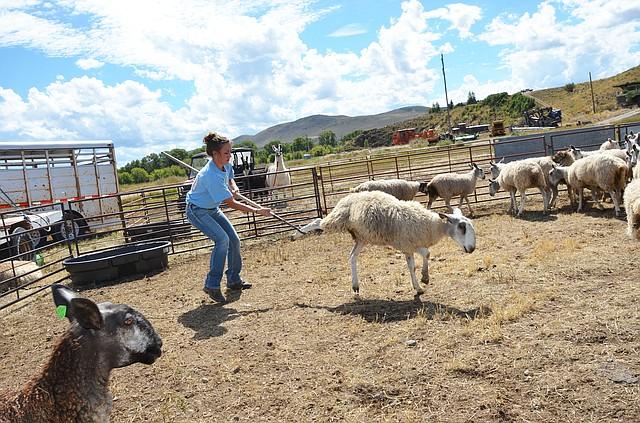 craig sheep wagon days are here again craig daily press