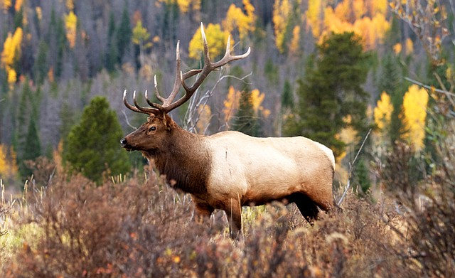 Colorado is known for having the largest elk herds in North America, as well as 23 million acres of public lands. Hunters have plenty of options to choose from, however those seeking tags for certain units must sometimes save preference points for 20 years before drawing a license.