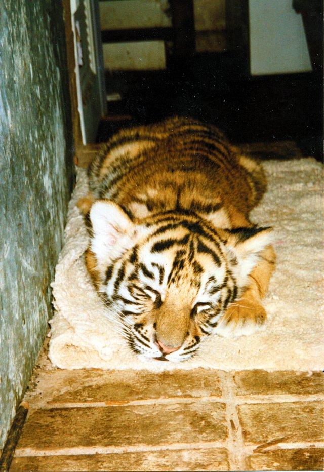 Carmelita, a baby tiger