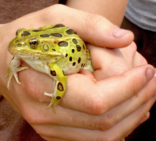 A bullfrog is captured at Wyman&#39;s Living History Ranch and Museum by students doing a study on deformities in frog populations in Colorado. No deformed frogs were found during the teams visit to Northwest Colorado on Wednesday.