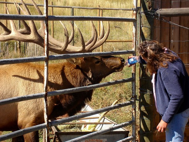 Clyde, the resident elk at Wyman Living History Museum east of Craig, has recently developed a taste for bottled water after being offered a sample. Julie Harris waters the 10-year-old bull elk, a big attraction at the museum, especially in the fall when he bugles to greet visitors arriving.