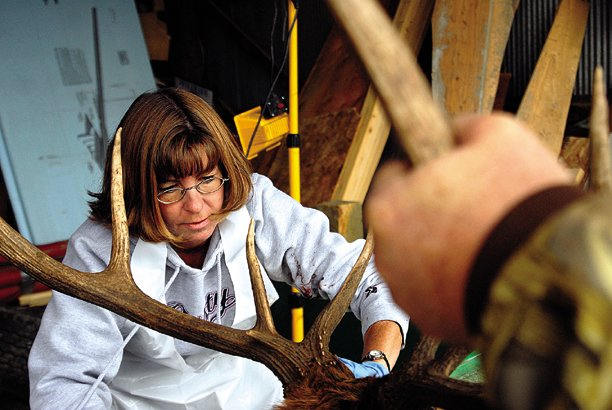 Cathy Caro removes antlers from the head of an elk last year during the process of testing for chronic wasting disease at the Colorado Division of Wildlife testing site, 1715 N. Yampa Ave. CWD is a fatal neurological disease found in deer and elk, and is tested for by removing and examining the lymph nodes and tonsils.