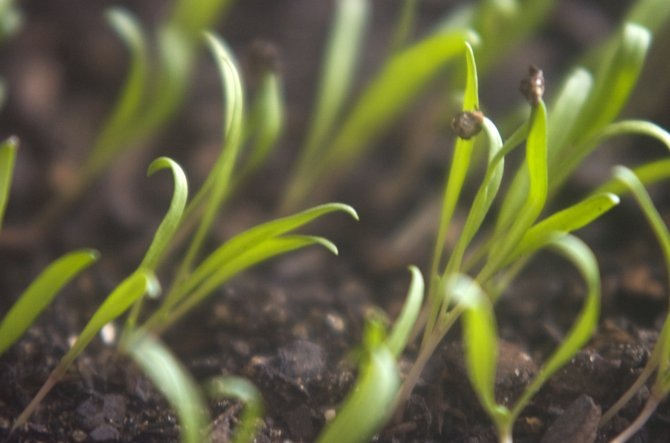 Sprouts bend toward the window light in the greenhouse at Steamboat Springs Middle School on Thursday.