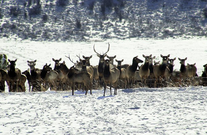 Increased development in the Yampa Valley is putting a strain on the elk herds that inhabit the area. 