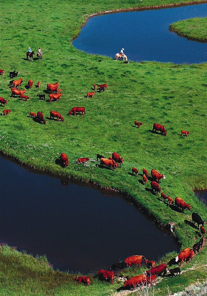 Tourists drive cattle at the Saddleback Ranch near Steamboat Springs. The ranch is an example of how local ranchers are moving into a new era that blends ranching and tourism.