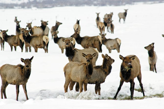 A herd of elk eats hay laid out for cattle on a ranch near Haymaker Golf Course east of Steamboat Springs earlier this winter.