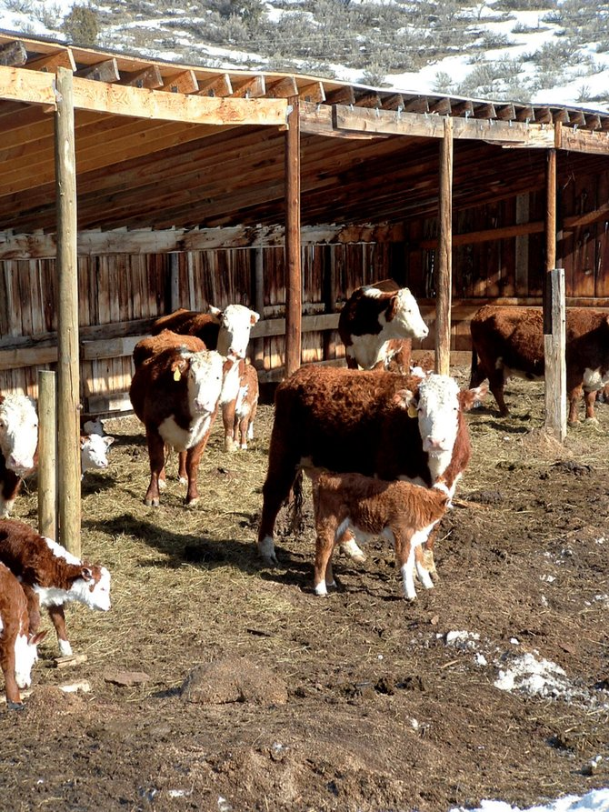 Calving season varies from ranch to ranch. Above, the Gilmar Ranch in the Williams Fork and Hamilton area raises Hereford cattle. There, the calving season begins in February.