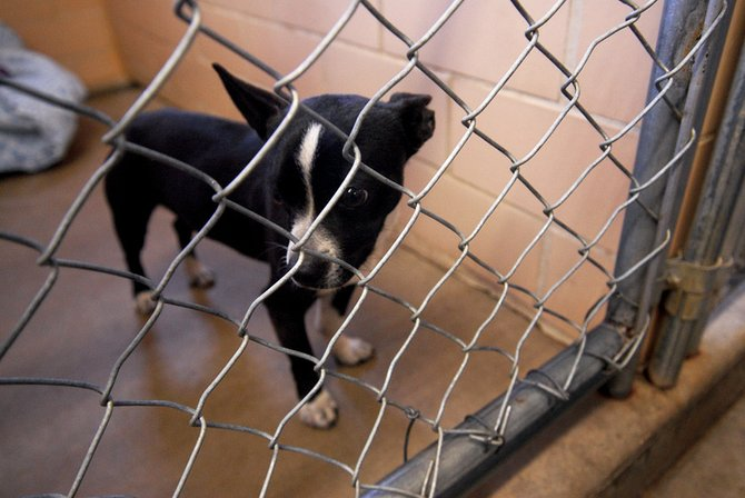 A Boston Terrier mix who has been named Turbo by Kathie Johnson, an animal control officer, sits in his pen Thursday at the Craig Animal Shelter.