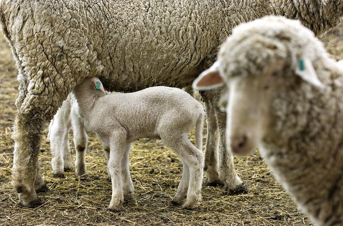 A lamb looks for a meal from its mother in a pen at Pete Wille's ranch near Steamboat Springs on Thursday afternoon.