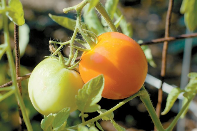 Believe it or not, it is possible to grow tomatoes in Northwest Colorado. Starting the seedlings indoors and carefully monitoring outside temperatures are key to your success.