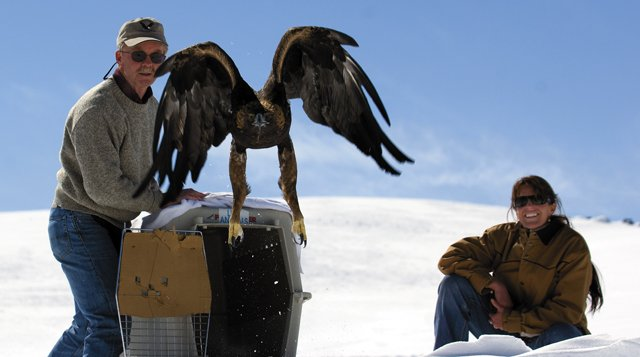 Tracy Bye watches as a golden eagle is released by Michael Maya Charles of the Birds-of-Prey 