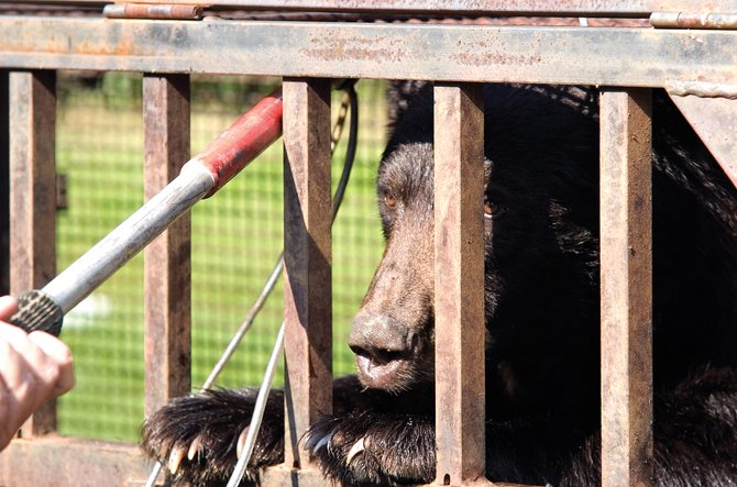 A black bear captured by Colorado Division of Wildlife personnel in a trap on Robert E. Lee Lane eyes a noose pole encroaching on its cage in Steamboat Springs on July 30, 2007. Bears have begun to emerge from hibernation and several have been reported in the area recently.