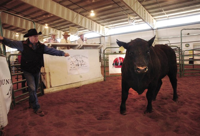 Dean Vogelaar herds a bull during the North Western Colorado Bull Sale on April 14, 2007, at the Routt County Fairgrounds. Forty-seven bulls and five heifers were sold, netting $88,000.