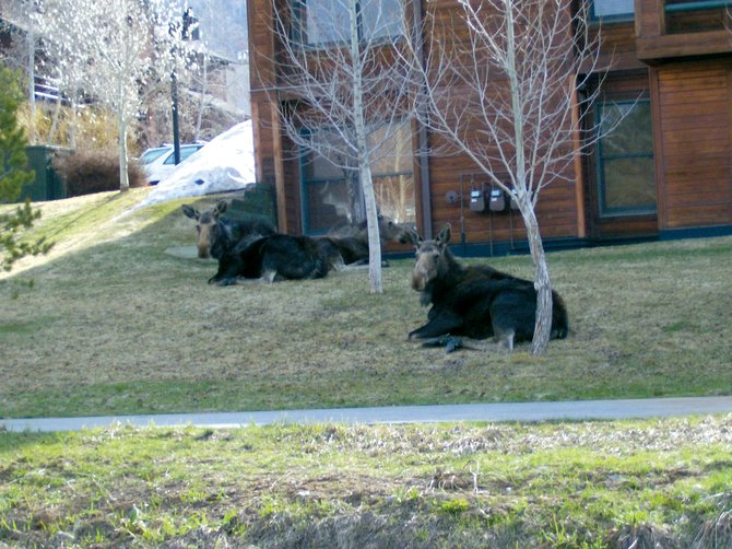 Two moose sit outside the Timber Run condominiums on Walton Creek Road on Wednesday morning. Division of Wildlife officials are asking local residents to keep their distance from the animals.