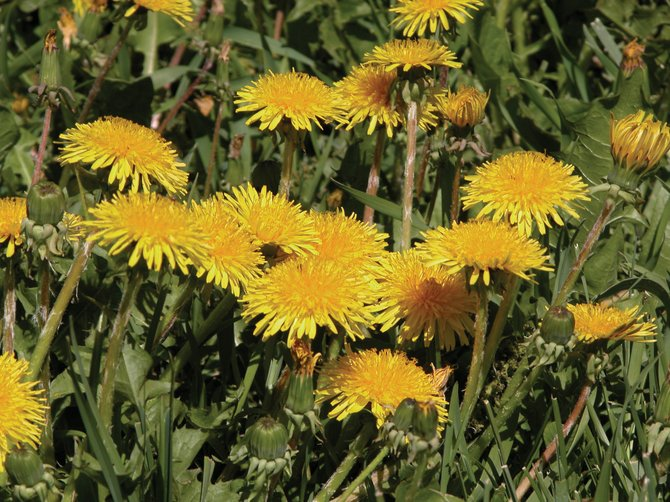Although dandelions are weeds, they make a tasty salad.