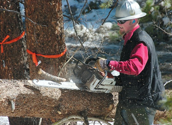 Logger Zane Younglund cuts the limbs off of a lodgepole pine tree so that it can be pulled out of the woods by a tractor. The tree was cut down in an effort to stem the spread of mountain pine beetles at the Steamboat Ski Area.