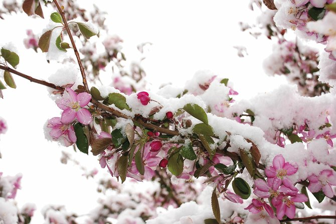 The snow shower that swept through Steamboat Springs at dawn Wednesday coated flowering crabapple trees. The forecast overnight into today anticipated temperatures might dip into the 20s.