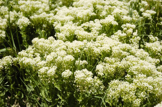 Whitetop is a noxious weed that has been particularly prevalent this spring in Routt County. County officials urge landowners to help control the weed.