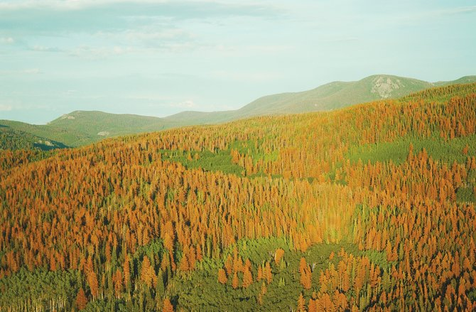 Beetle-killed trees spread across the landscape in Routt County. According to the U.S. Forest Service, the mountain pine beetle like