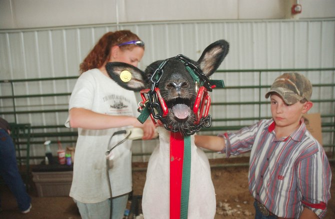 Hayden 4-H members Anna Brown, 15, and Kenny Corriveau, 10, shear Kenny's sheep, Repeat, on Wednesday at the Routt County Fairgrounds in preparation for the fair. The fair starts Friday with a horse show.