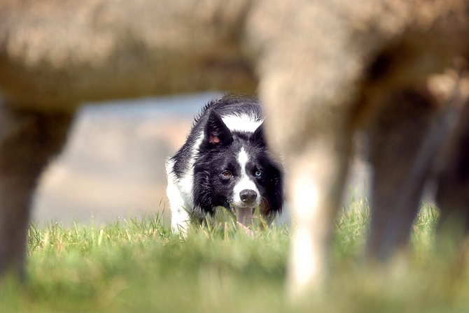The 22nd annual Meeker Classic Sheepdog Championship Trials are scheduled for Sept. 3 through 7. This year, about 124 dog/handler teams will compete, with more than $20,000 prize money and points in a championship chase at stake.