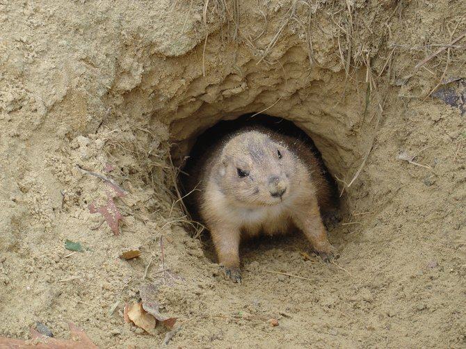The prairie dog could get some government help thanks to a conservation plan that is pending approval. The plan would be used as a guide to maintain two species.