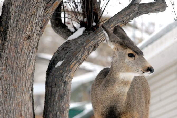 Deer - like the one pictured here last winter - were hard to come by this bow-hunting season. According to local hunters, Mother Nature is to blame for the lower-than-normal prized kills seen throughout Moffat County.