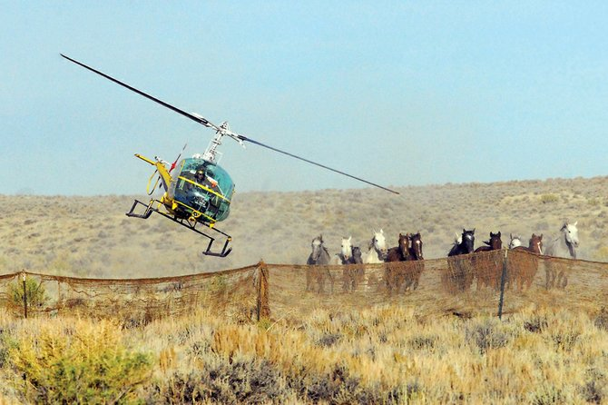 A helicopter directs wild horses into holding pens Saturday at Sand Wash Basin. The project, sponsored by the Bureau of Land Management, is meant to thin the herd to a size that the local habitat is able to support. Some of the horses caught will be adopted Saturday at the Moffat County Fairgrounds.