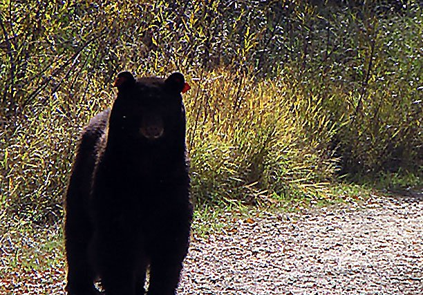 Craig resident Dixie Osmun spotted this black bear Sunday afternoon at Loudy-Simpson Park. Two bears were seen roaming the park's trails during the weekend.