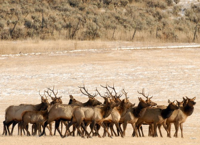 A herd of elk, numbering more than 150, makes its way through Doug Camilletti's property, 10 miles north of Craig, on Dec. 3.