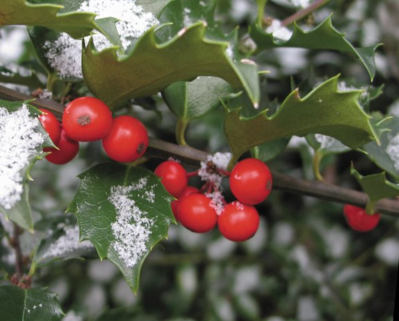 Although holly is popular as a Christmas decoration, don't expect to have much success growing it in Routt County and its Zone 4 climate.