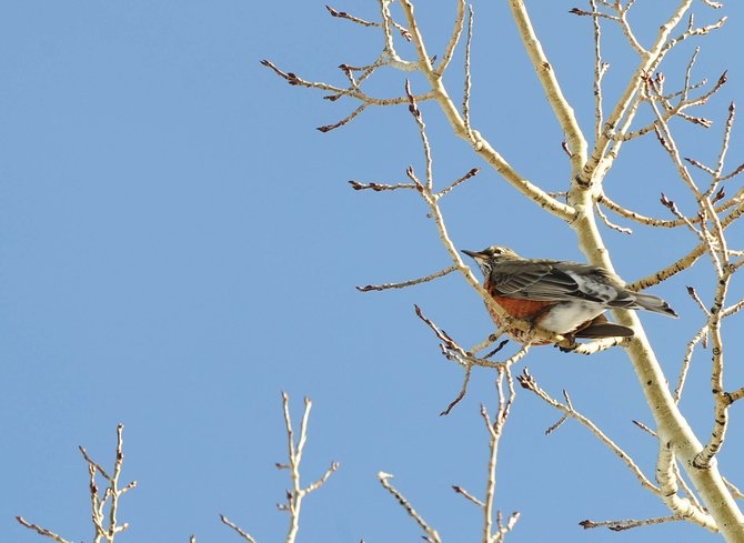 A robin sits in an aspen tree Wednesday afternoon near Blackmere Drive. Local bird experts think the robin population explosion on Emerald Mountain is attributable to birds that migrated from Canada.