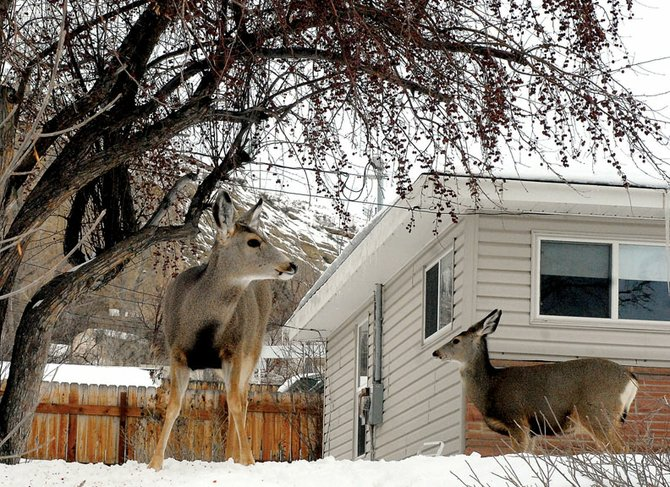 Two deer stand in a Craig resident's yard last winter looking for grass to eat. The Craig Deer Committee recently met with Colorado Division of Wildlife officials and discussed what the agency could do to reduce or eliminate the deer population inside city limits.