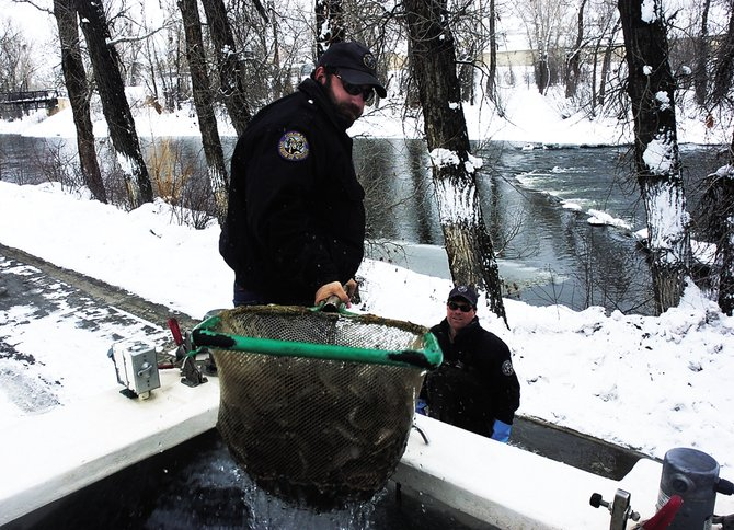 Wildlife technician Brad Neuschwanger, of the Colorado Division of Wildlife, scoops up 20 pounds of young rainbow trout Wednesday to transfer to fisheries biologist Billy Atkinson for stocking in the Yampa River. Atkinson went before the Parks and Recreation Commission on Wednesday night to seek a recommendation in favor of an ordinance prohibiting private tubing above the Fifth Street Bridge.