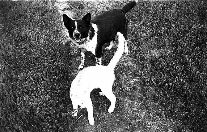 Bernie, a black and white collie-Dingo mix, was adopted on the Front Range to work cows. However, she didn't become a worker, but rather a nurturer, even to the unlikeliest of animals.