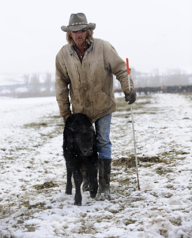 Steamboat Springs rancher Larry Monger walks a calf through a pasture to a pen Thursday afternoon.