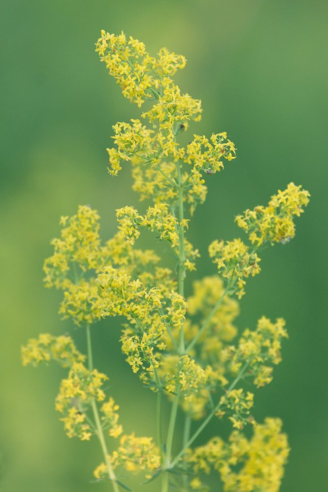 Yellow bedstraw, pictured here, is worrying Extension Agent C.J. Mucklow.