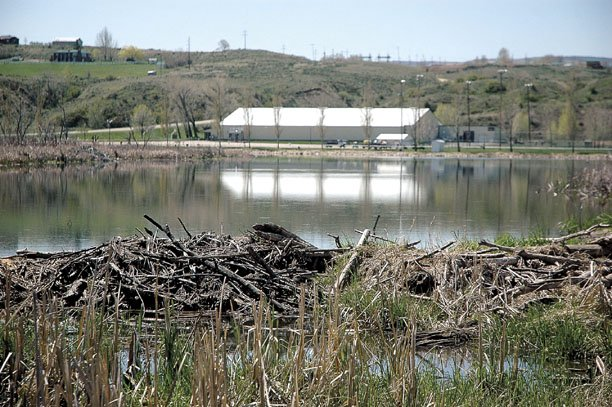 The Moffat County Ice Arena sits behind a smaller industrial development, a beaver dam on the north end of Loudy-Simpson pond. Tammy Seela, who oversees Loudy-Simpson Park as county parks and recreation manager, said large numbers of beavers have started to damage the park grounds by cutting down trees that surround the Kiwanis Trail and Yampa River. More than a hundred trees have been felled and lay in the dirt on both sides of Ranney Street.