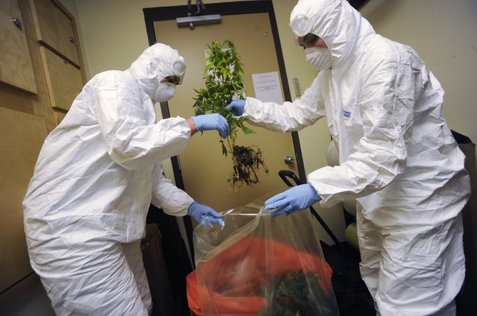 Routt County Sheriff's Office evidence supervisor Mellisa Baumgartner, right, and technician Dawn Smith process marijuana plants Tuesday at the office that were seized from a Hayden home last week.