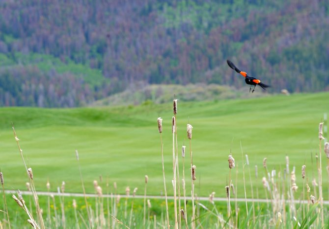 A red-winged blackbird flies last week over Haymaker Golf Course, which is an Audubon International Signature certified site because of the course's efforts to maintain a natural habitat for the area's native species. To keep its certified status, the course must continue to improve its offerings of lush greens.
