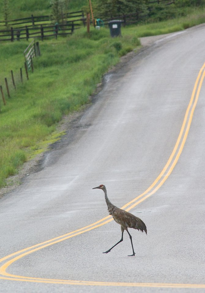 An adult sandhill crane tests the waters by crossing Routt County Road 42 in advance of its family. A few seconds later, another sandhill crane guided two chicks across the heavily traveled road.