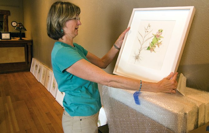 Carol Till unwraps a print for RARE Imperiled Plants of Colorado, a traveling exhibition of Colorado Rare Plants. The exhibit debuted at the Denver Botanic Gardens and ran from March 7 to May 17. The exhibit is scheduled to appear in Steamboat Springs, at the Steamboat Art Museum, from May 23 until Sept. 30. A three-day workshop focused on plant illustration is Friday through Sunday at Yampa River Botanic Park.
