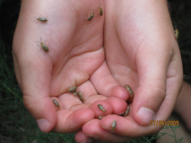 These beetles, a predator of salt cedar, were brought in from Asia and released Sunday in Moffat County.