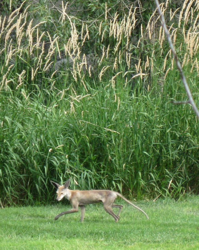 A hairless fox sneaks across a grass field near Eagleridge Drive last week. Hairless foxes were blamed for the killing of about 50 cats five years ago. Residents have reported seeing the animals again in recent weeks.